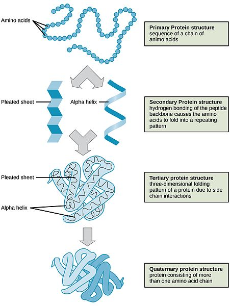 The four structural levels of proteins