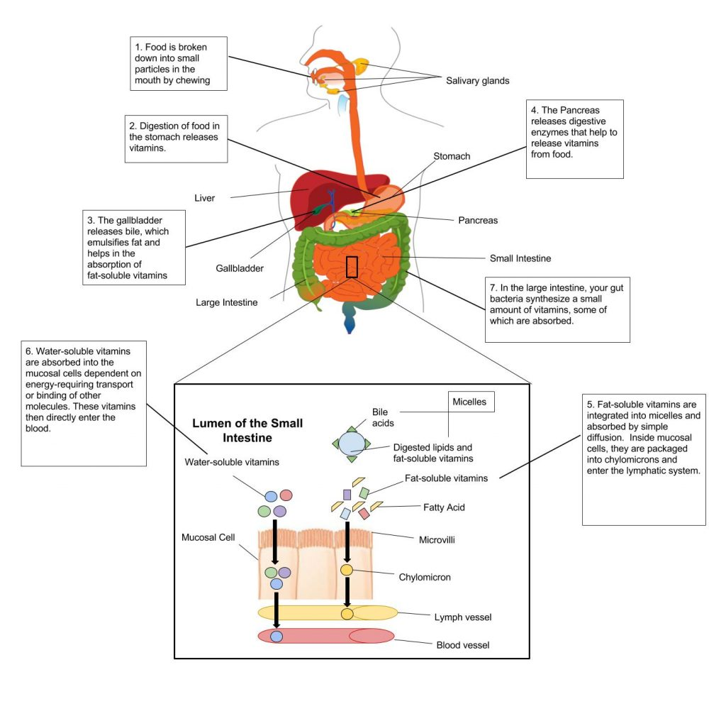 Process of vitamin absorption in body