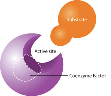 Enzyme and side for cofactor