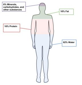 A simple outline of a human figure showing overall composition by color: blue, water 62%; pink, protein 16%; green, fat 16%; purple, minerals, carbohydrates, amd other substances