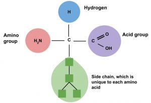 figure showing parts of an amino acid: Amino group, Hydrogen, Acid group, and side chain which is unique to each amino acid