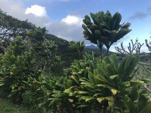 Ti leaf bushes and plumeria tree