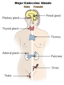figure showing major endocrine glands: pineal gland, pituitary gland, thyroid gland, thymus, adrenal gland, pancreas, ovary, and testis