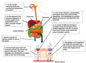 Illustration of digestion and absorption of protein in the human body: 1) In the mouth, chewing starts the mechanical breakdown of protein. 2) In the stomach, the chemical digestion of protein begins from hydrochloric acid (HCL) and the enzyme pepsin. 3). In the small intestine, polypeptides are broken down into amic acids, aidpeptides, and tripeptides by protein digesting enzymes secreted from the pancrease, 4) A vartiety of different transport proteins move the products from protein digestion into the mucosal cell. Some amino acids share the same transport system. 5. Dipeptides and tripeptides can enter the mucosal cell. Once inside, they are broken down into single amino acids. 6. Amino Acids pass from the mucosal cell into the blood and travel to the liver. The liver regulates the distribution of amino acids to the rest of the body.