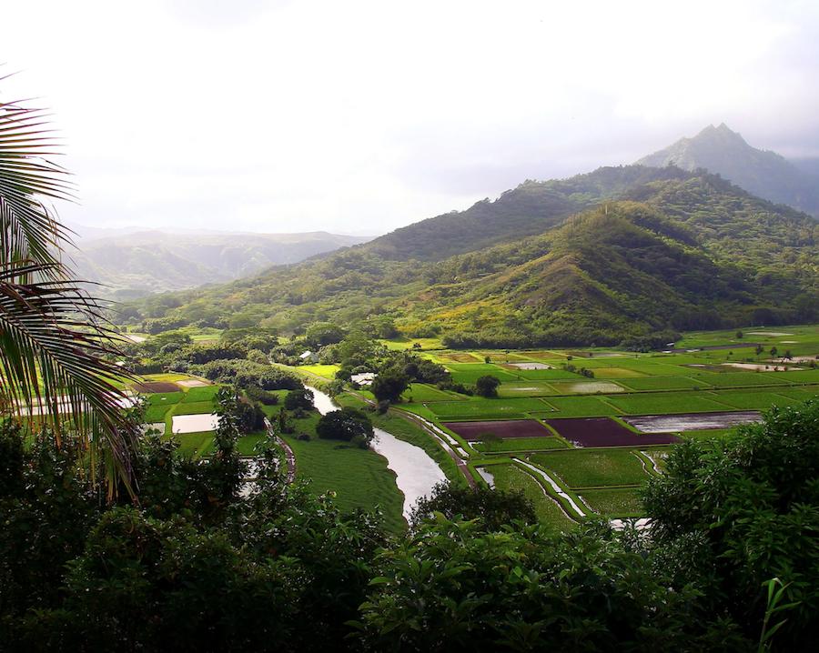 Taro being grow on the North Shore of Kauai