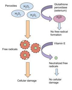 Selenium's Role in Detoxifying Free Radicals