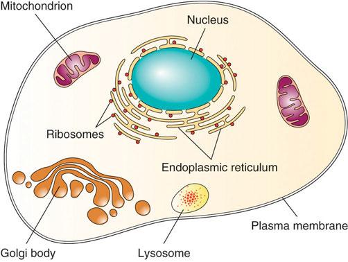 Illustration of a cell with plasma membrane mitochondrian, ribosomes, nucleus, endoplasmic reticulum, golgi body, and lysosome,