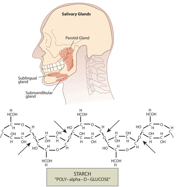 "Illustration of a human head and skull including the salivary glands: parotid gland, sublingual gland, and submandibular gland. Skeletal formula of starch ""POLY-alpha-D-GLUCOSE"""