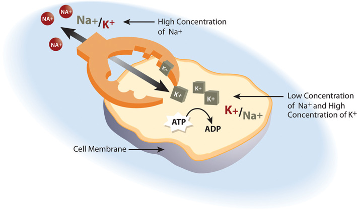 A diagram showing how a cell uses the sodium-potassium pump to maintain a low concentration of Sodium and high concentration of Potassium inside the cell.