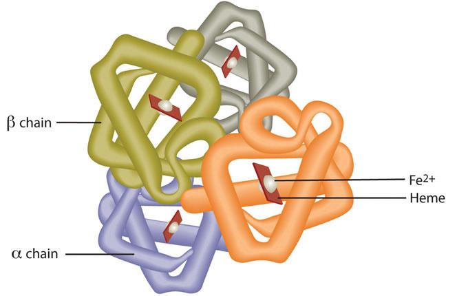 Diagram of hemoglobin structure
