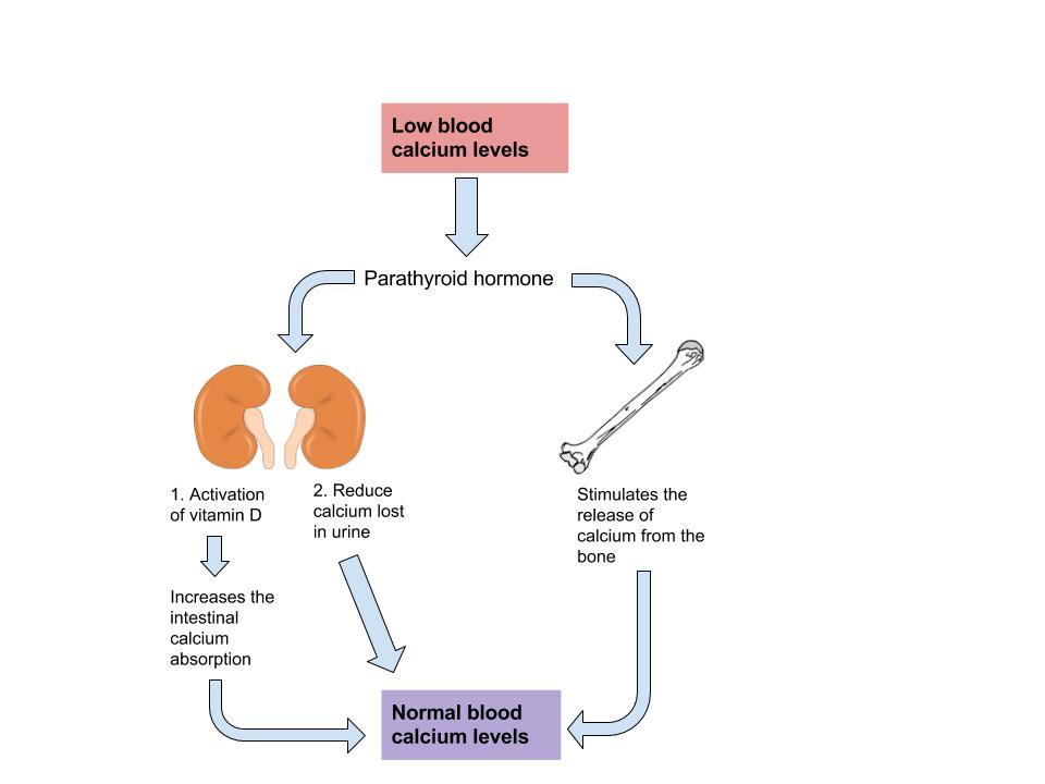 Blood Calcium Level diagram