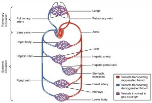 In red oxygenated blood, in blue deoxygenated blood, traveling through variously named veins to major organs. In purple, vessels involved in gas exchange.