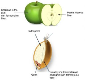Diagram showing illustration of apple: cellulose in the skin: non-fermentable fiber. Pectin: viscous fiber. Also an illustration of wheat germ including endosperm, germ, and bran layers (Hemicellulose and lignin: non-fermentable fiber)