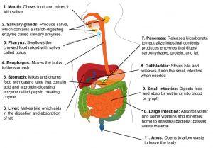 diagram of internal organs of the digestive system: mouth, salivary glands, pharynx, esophagus, stomach, liver, pancreas, gallbladder, small intesting, large intestine, anus