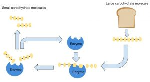 Large carbohydrate molecules (example: bread) are broken down by enzymes into small carbohydrate molecules
