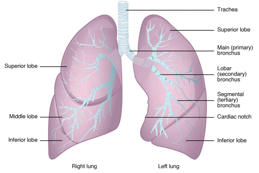 Bronchioles lead to alveolar sacs in the respiratory zone, where gas exchange occurs.