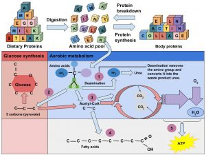 Detailed illustration of amino acids being broken down and going through glucose synthesis and aerobic metabolism to create ATP energy