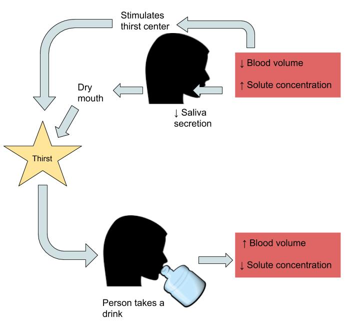 A diagram showing water intake regulation: decreased blood volume and increased solute concentration can both stimulate the thirst center OR decrease saliva secretion leading to dry mouth. Both which lead to Thirst. After drinking water, blood volume increases and solute concentration decreases.