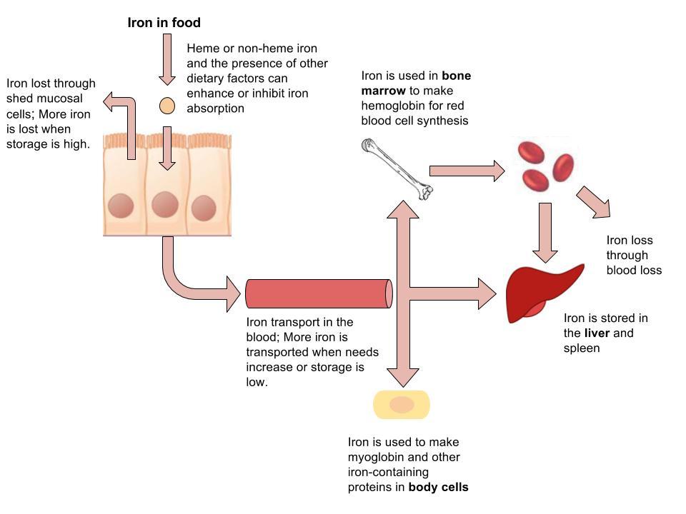 Iron absorption diagram