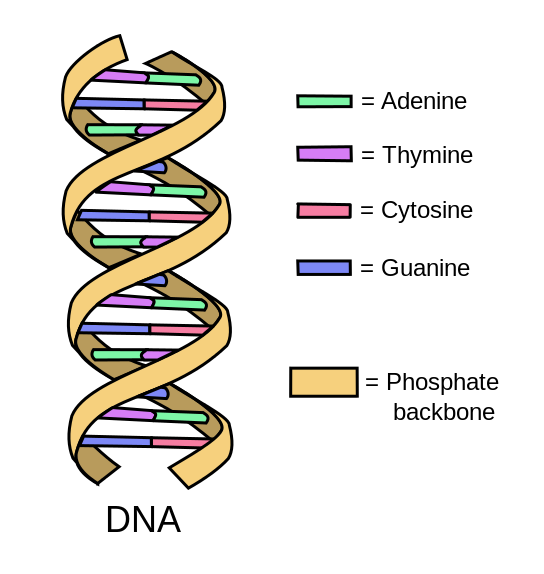 Figure 4.12 Double-stranded DNA