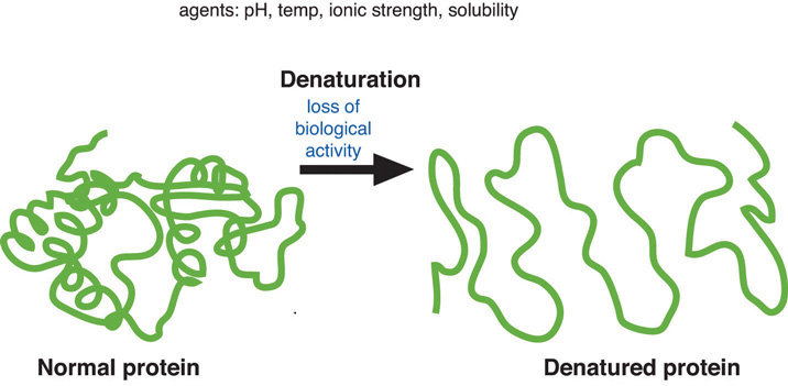 Illustration of a normal protein which goes though denaturation (the lose of biological activity with the agents of pH, temp, ionic strength, and solubility) and leads to a denatured protein