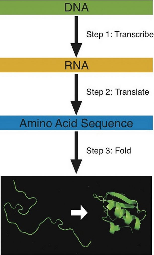 Steps for building a protein: 1: Transcribe DNA, 2. Translate RNA, 3: Fold Amino Acid Sequence