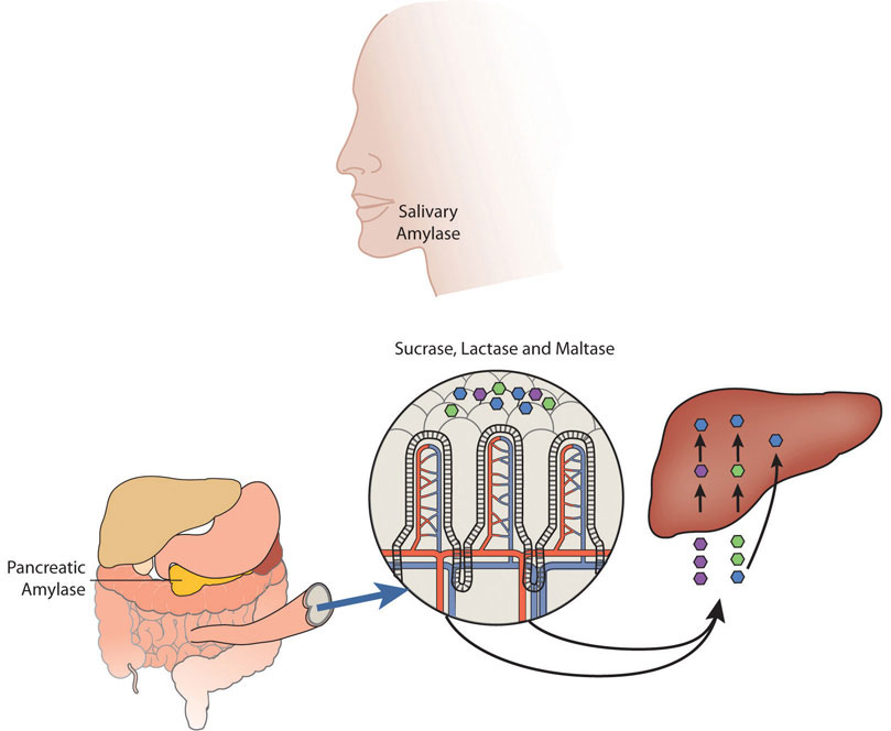 Human head showing salivary amylase, illustration of internal organs including pancreatic amlyase, then being broken down into sucrase, lactase, and maltase which then continue on to the liver.