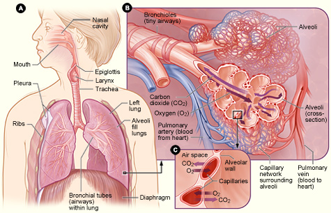 Figure showing major organs of respiratory system: mouth, nasal cavity, epiglotis, larynx, trachea, lungs, etc. Cut-aways showing details of lungs where gas exchange occurs.