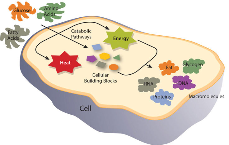Illustration showing metabolic pathways of a cell - glucose, fatty acids, and amino acids are processed inside a cell producing energy and heat which are used by or become macromolecules: fat, glycogen, RNA, DNA, Pproteins.