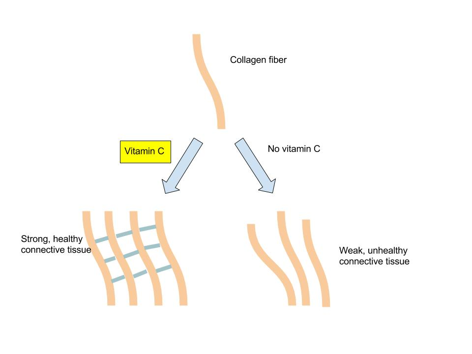 Vitamin C and collagen synthesis