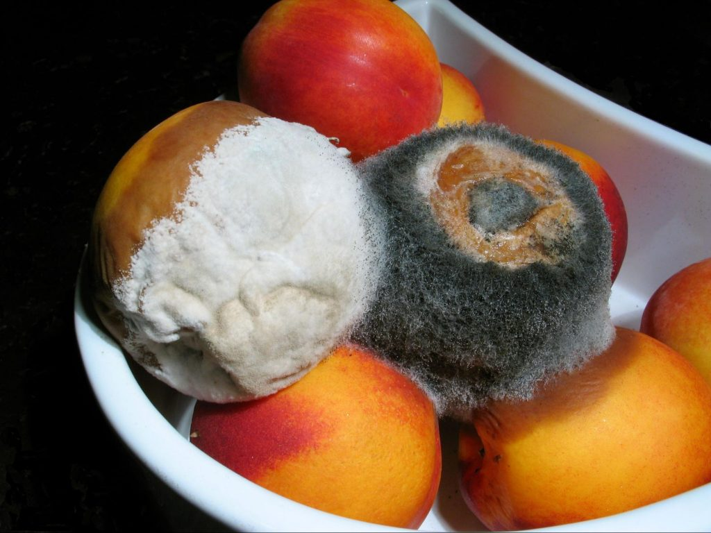Mold growing on nectarines