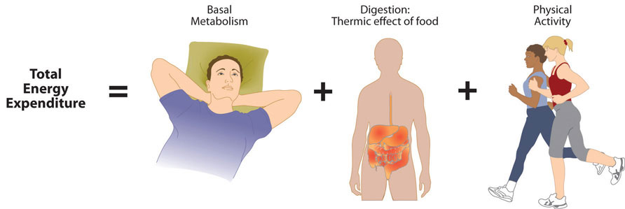 Metabolic states and activities. Total Energy Expenditure = Basal Metabolism + Digestion: Themic effect of food + Physical Activity