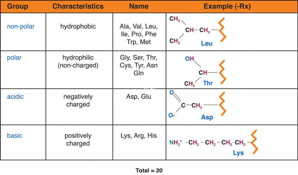 Table of amino acid groups including: non-polar - hydrophonic, polar hydrophilinc (non-charged), acidic-negatively charged, basic-positively charged