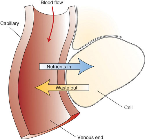 Diagram showing blood flow through a capillary with arrows showing nutrients going from the capillary to the cell and waste going from the cell into the capillary.