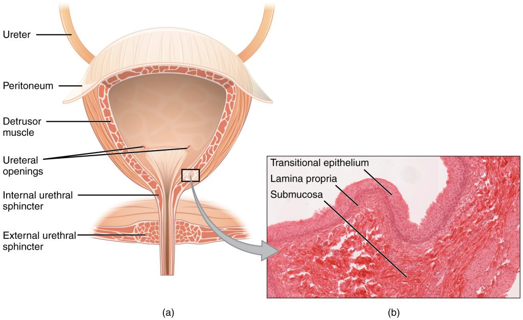 A detailed illustration of the bladder showing ureter, peritoneum, detrusor muscle, ureteral openings, internal urethral sphincter, external urethral sphincter. A cut away shows a detail of the internal urethral sphincter with transitional epithelium, lamina propria, and submucosa.