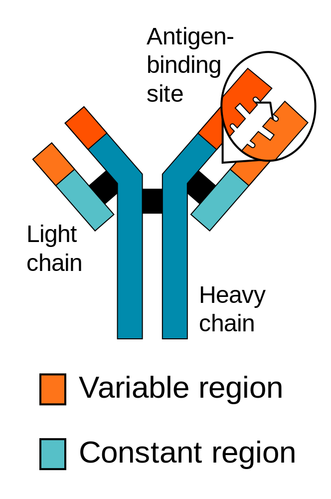 Illustration of antibody protein structure showing antigen-binding site, light chain, and heavy chain