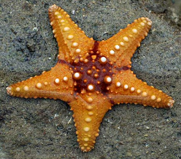 Starfish 02 (paulshaffner) cropped